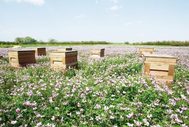 蜂の子 生産地