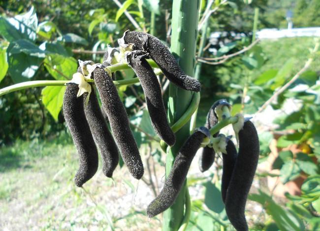 ムクナ豆とは