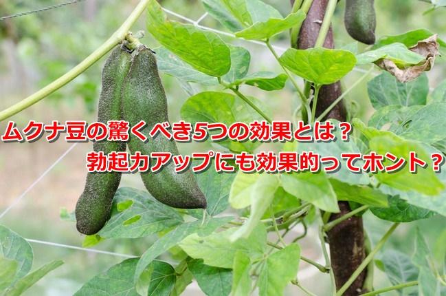 ムクナ豆 効果 勃起力